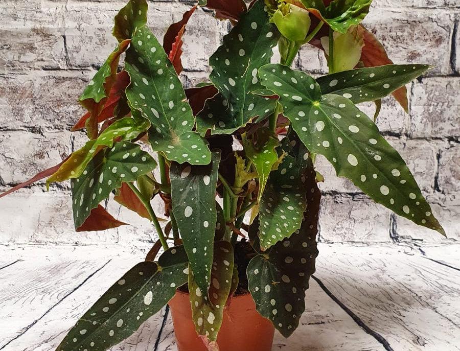 Begonia Maculata |Polka Dot | Silver Dots | Wightii