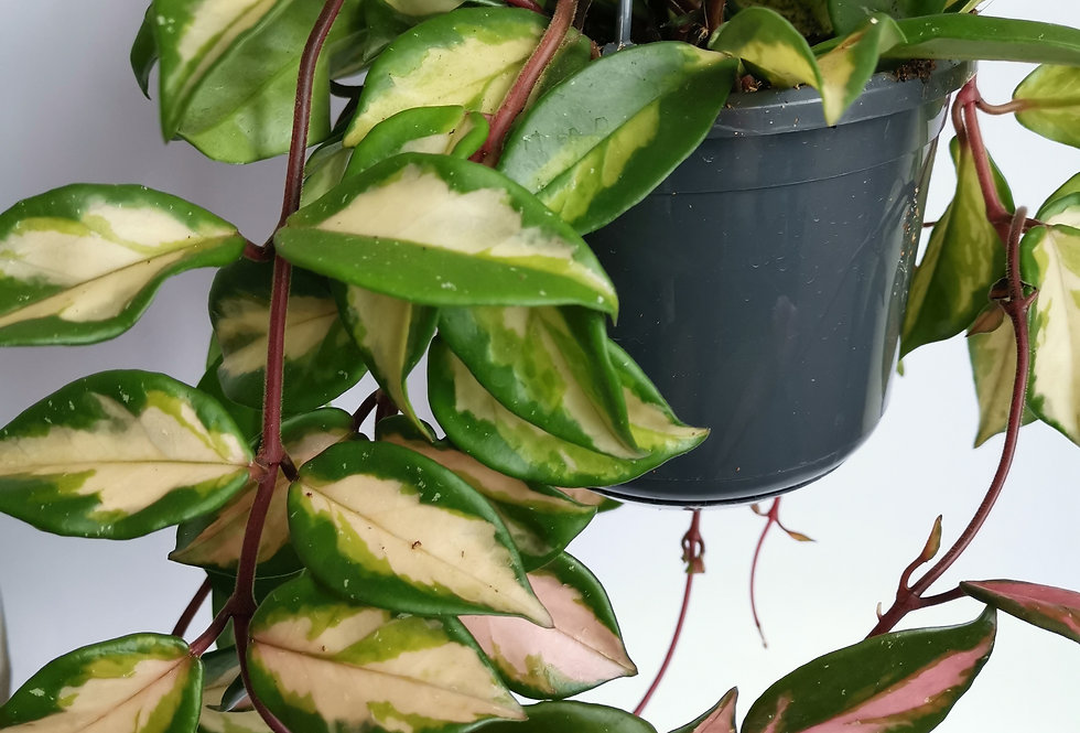 Hoya Carnosa Tricolour House Plant 14cm Hanging Pot
