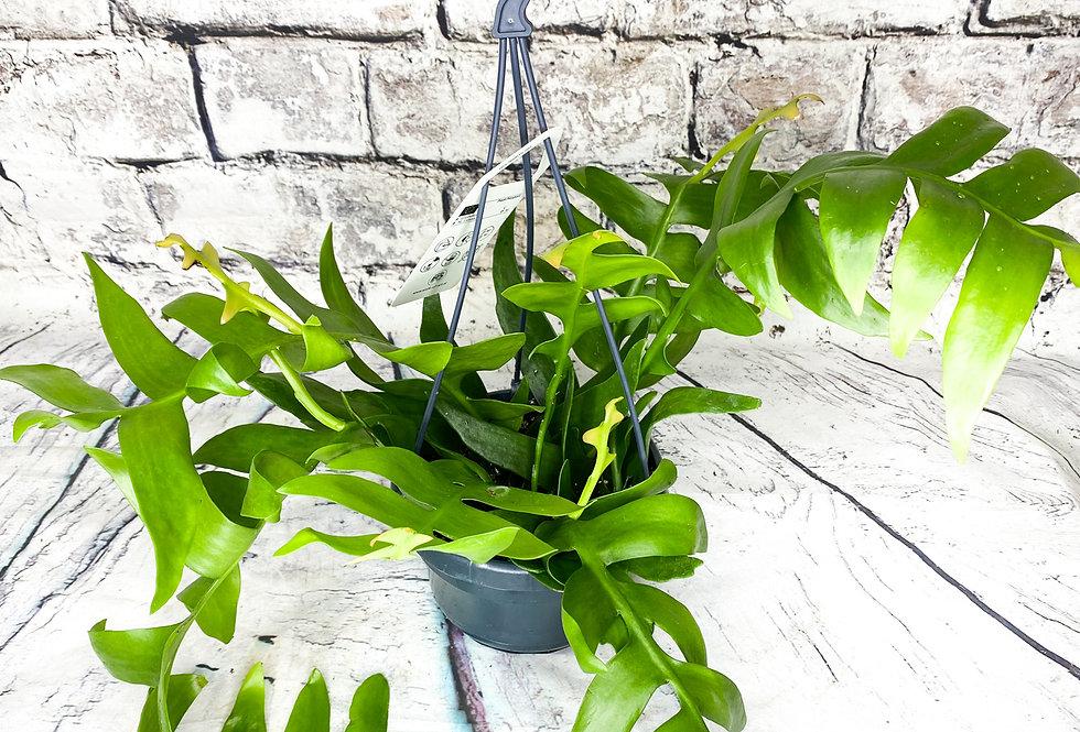 Epiphyllum Chrysocardium Hanging