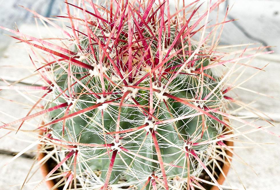 Ferocactus Latispinus 13Ø 25cm