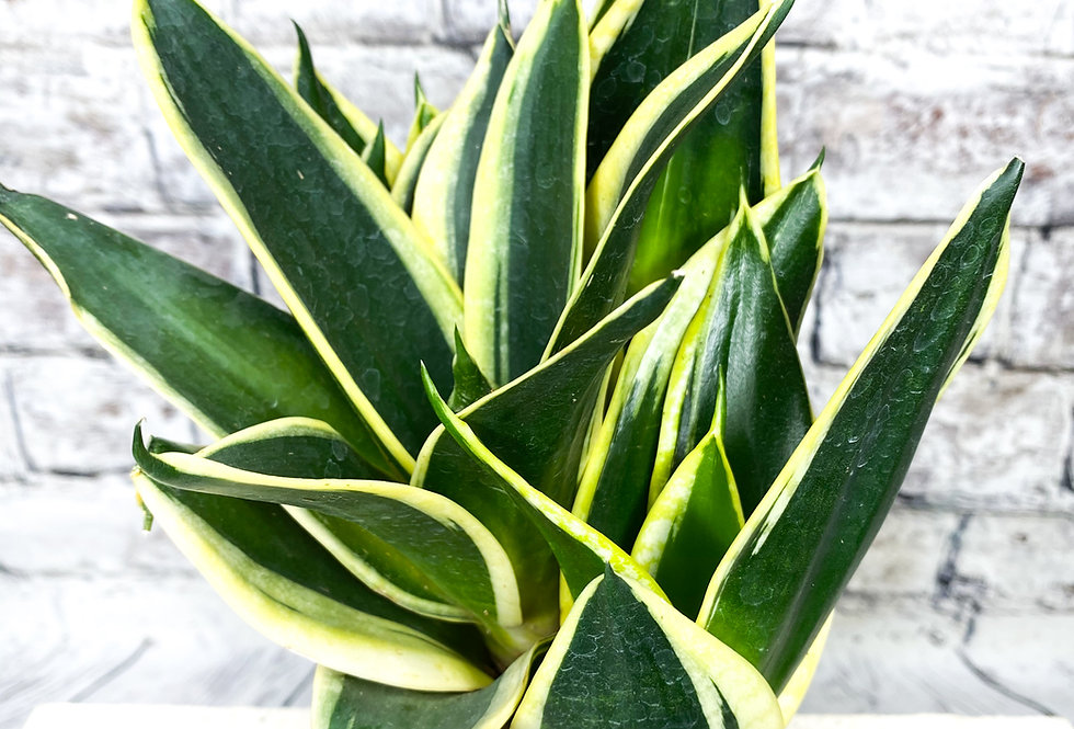 Sansevieria Hahnii Jade Pagoda 12cm pot size