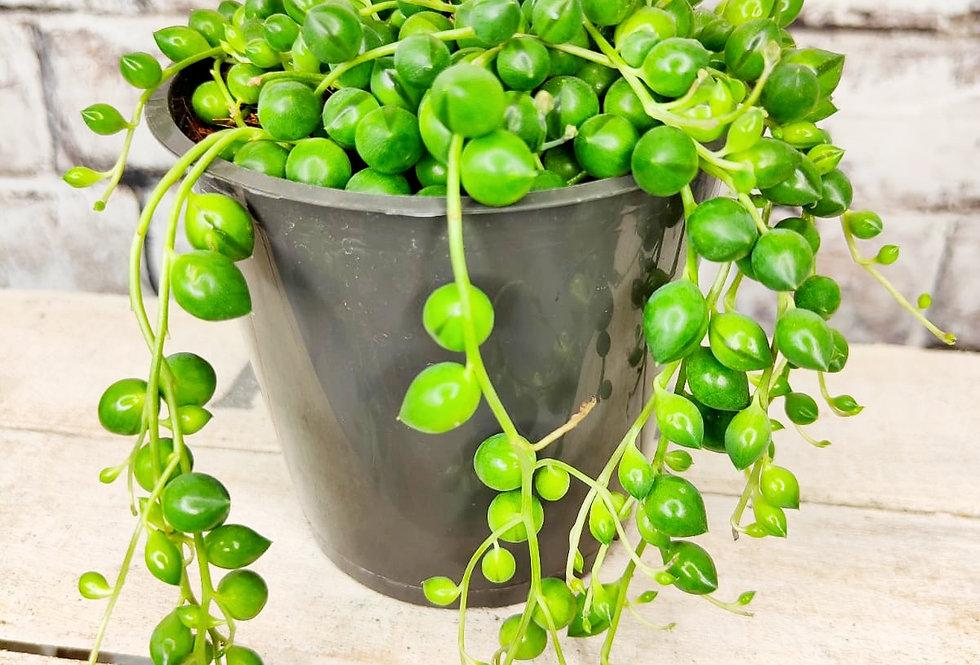 Senecio String of Pearls