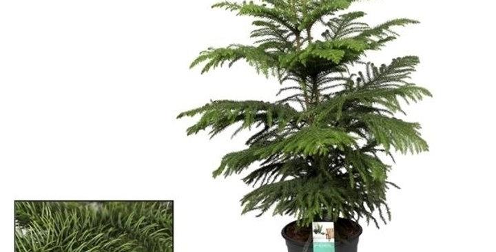 Araucaria Heterophylla 24Ø 100cm PREorder