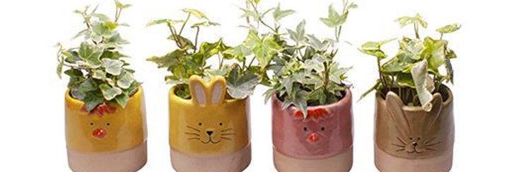 Hedera in ceramic pot