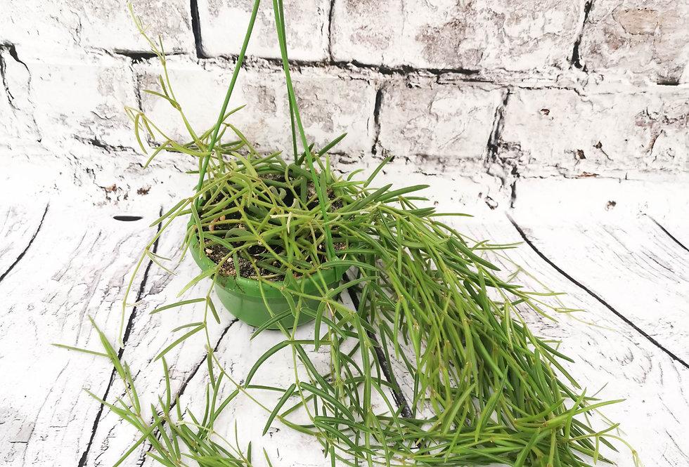 Hoya Linearis String of Needles Wax plant