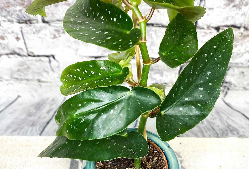 Begonia Wings my Albopita baby