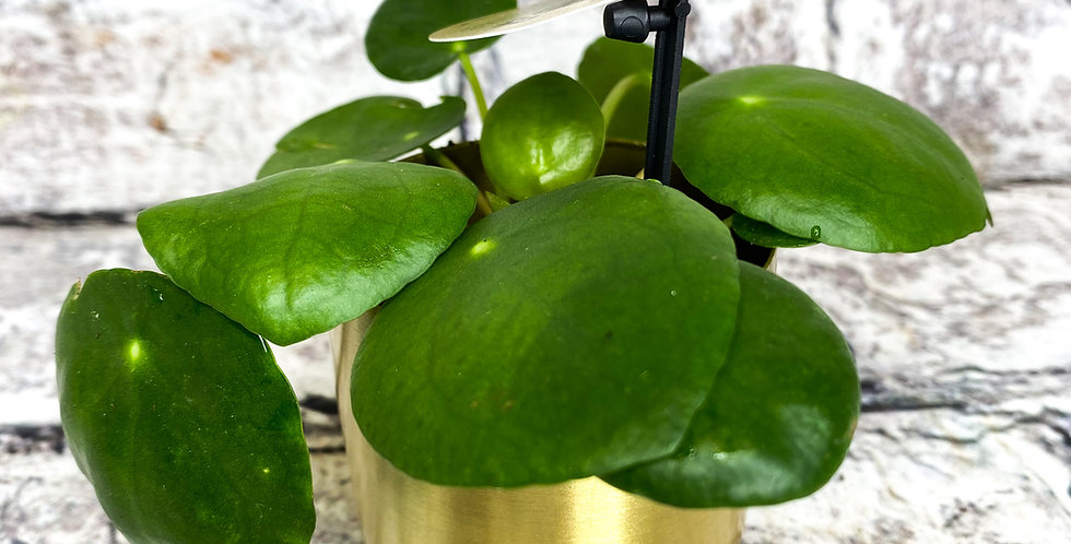 Pilea pepperomoides Chinese money plant
