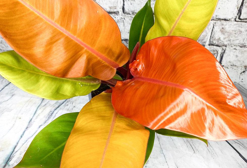 Philodendron prince of orange 17Ø