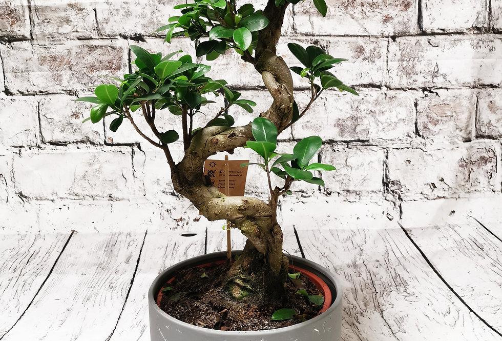 Bonsai Ficus XXL