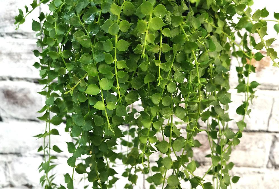 Dischidia ruscifolia - Million Hearts -