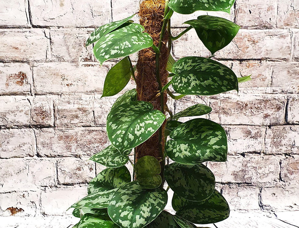 Silver Exotica Pothos with moss pole