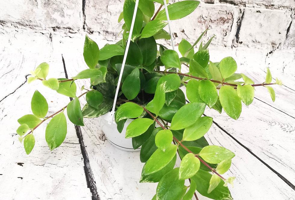Lipstick Hanging Plant - Aeschynanthus radicans 'Variegata