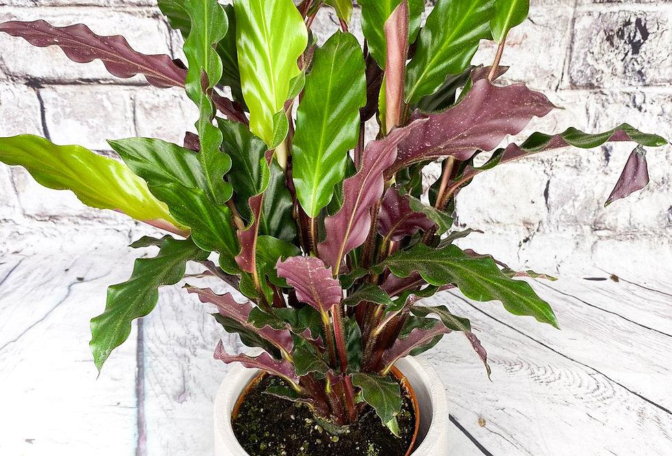 Calathea Rufibarba 13cm pot size