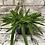 Thumbnail: Aprocactus Hylocereus undatus