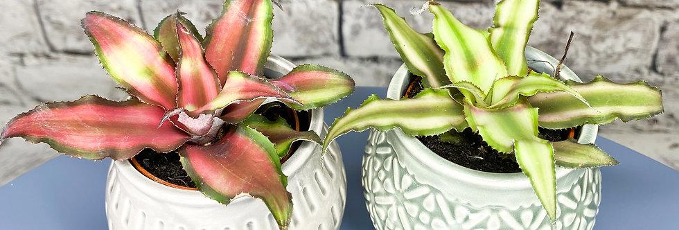 Cryptanthus – earth star, starfish plant