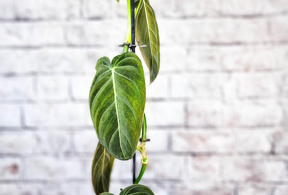 Philodendron melanochrysum XL