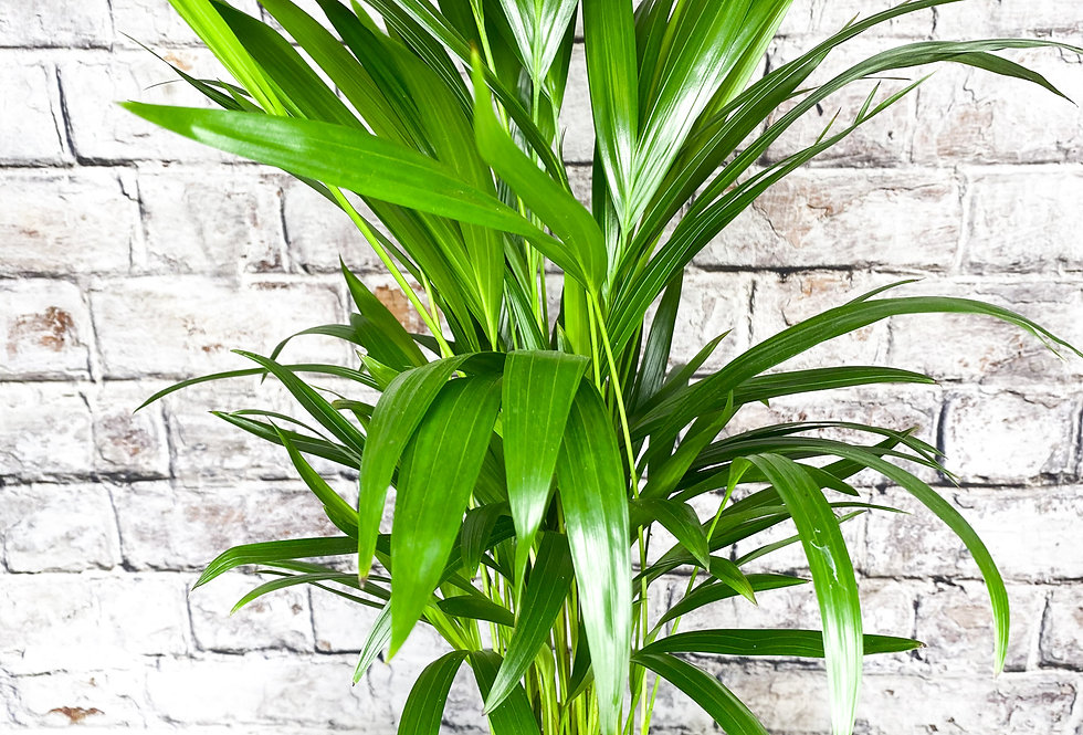Areca Dypsis lutescens Palm 14cm pot