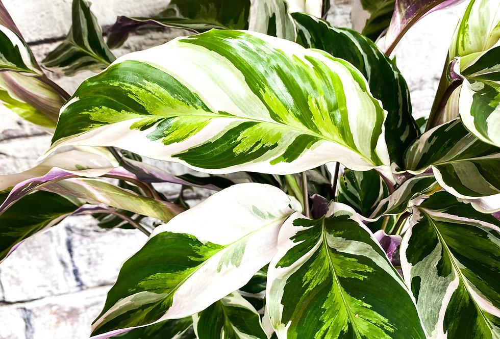 Calathea 'Fusion White'
