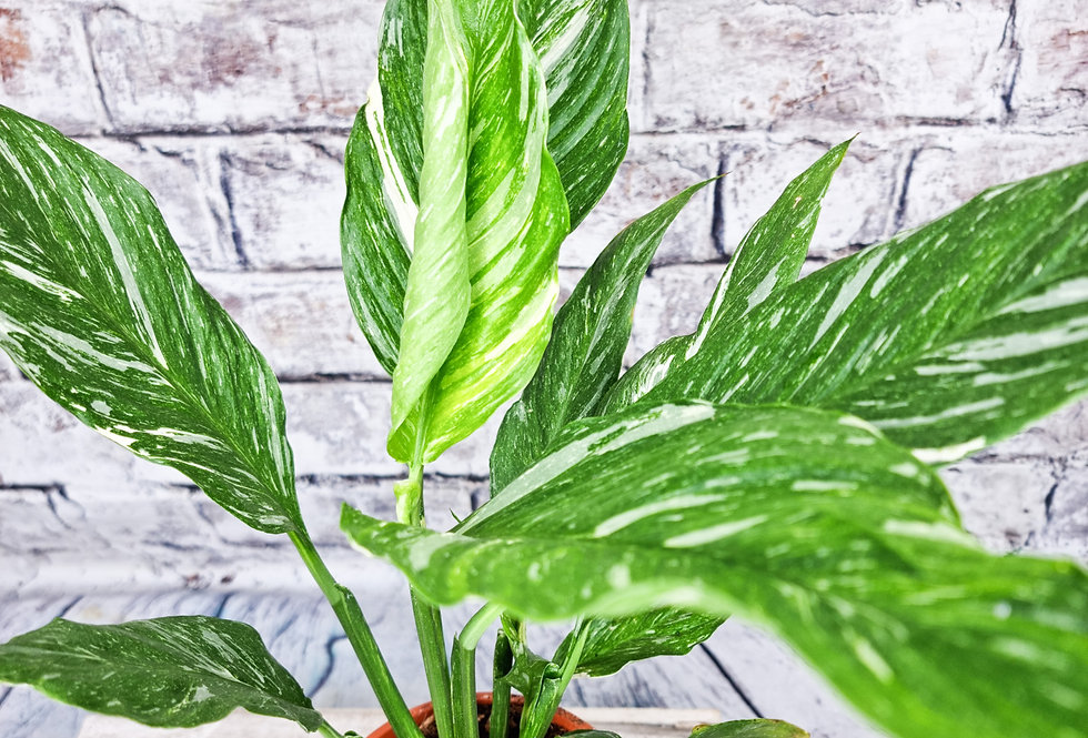 Spathiphyllum peace lily Diamond variegated ( non flowering)