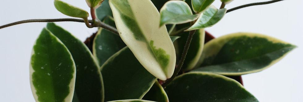 Hoya Carnosa Krimson Queen | wax plant | wax flower