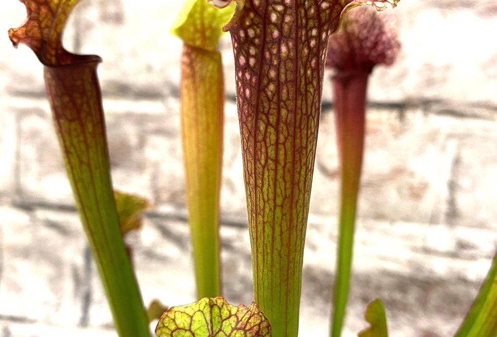 Carnivorous Plant Sarracenia Judith