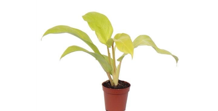 Philodendron malay gold baby