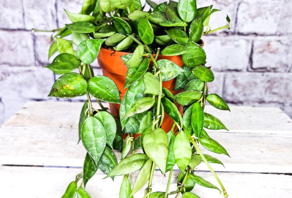 Hoya Krohniana Green 12Ø