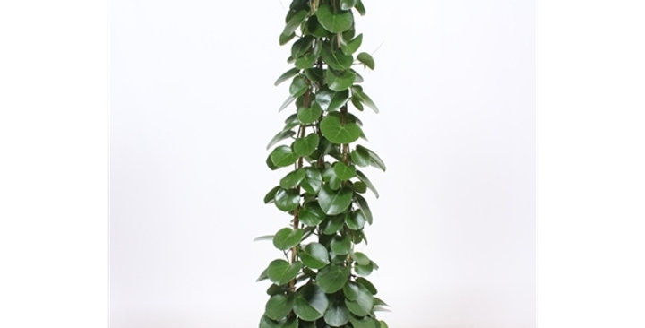 Cissus rotundifolia 27Ø 160cm PREorder