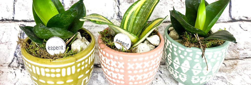 Sansevieria Combo with ceramic pot small
