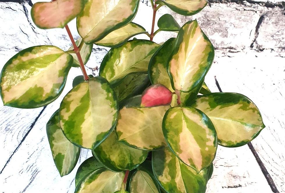 Hoya Australis Lisa - Wax Plant
