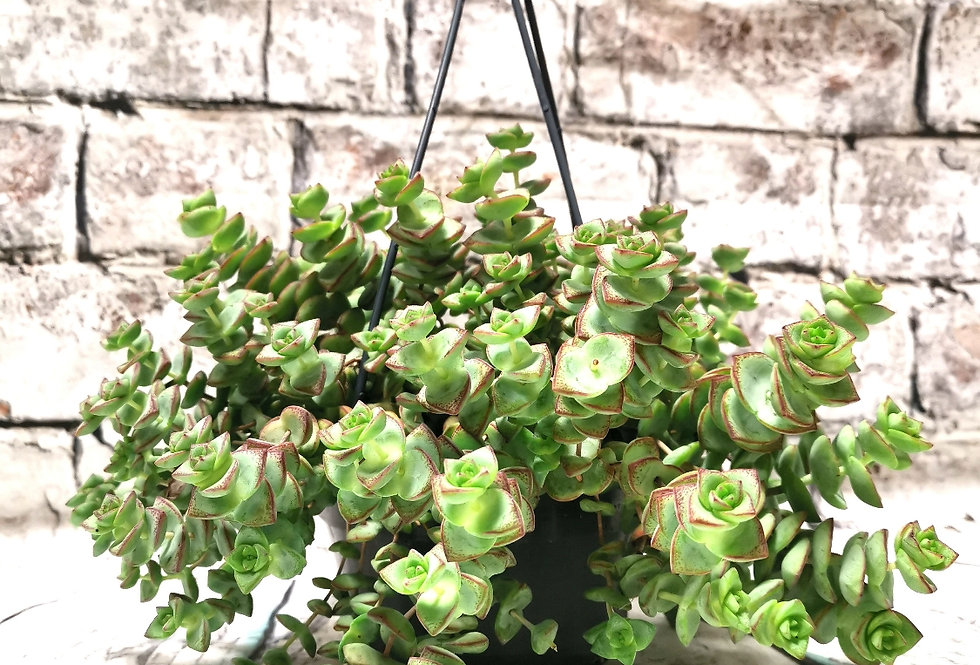 Crassula hanging basket