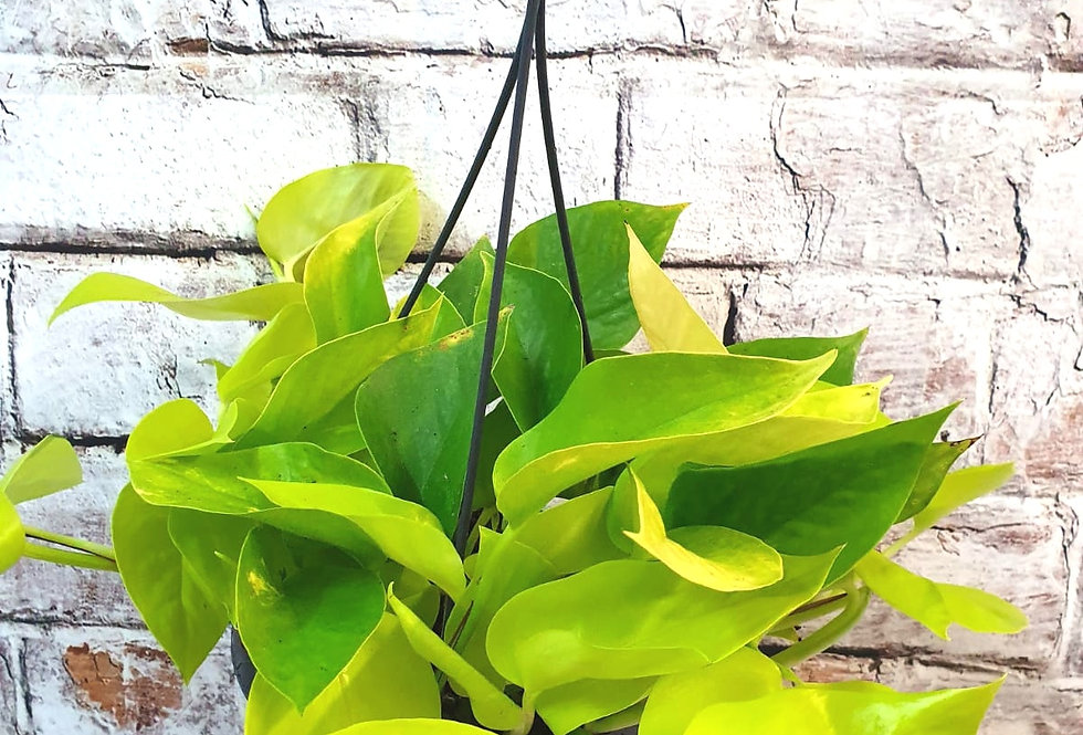 Neon Pothos hanging pot