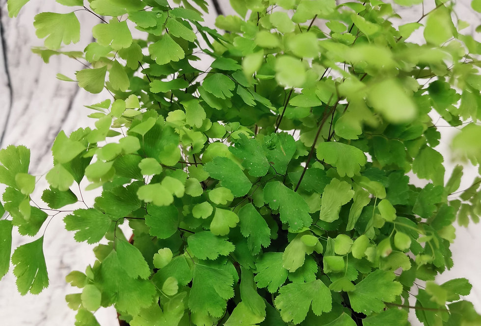Adiantum raddianum, the Delta maidenhair fern