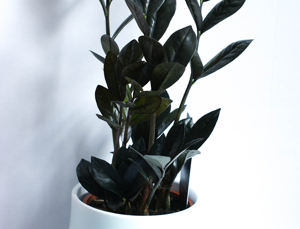 Zamioculcas zamifolia Raven ZZ plant 4stem