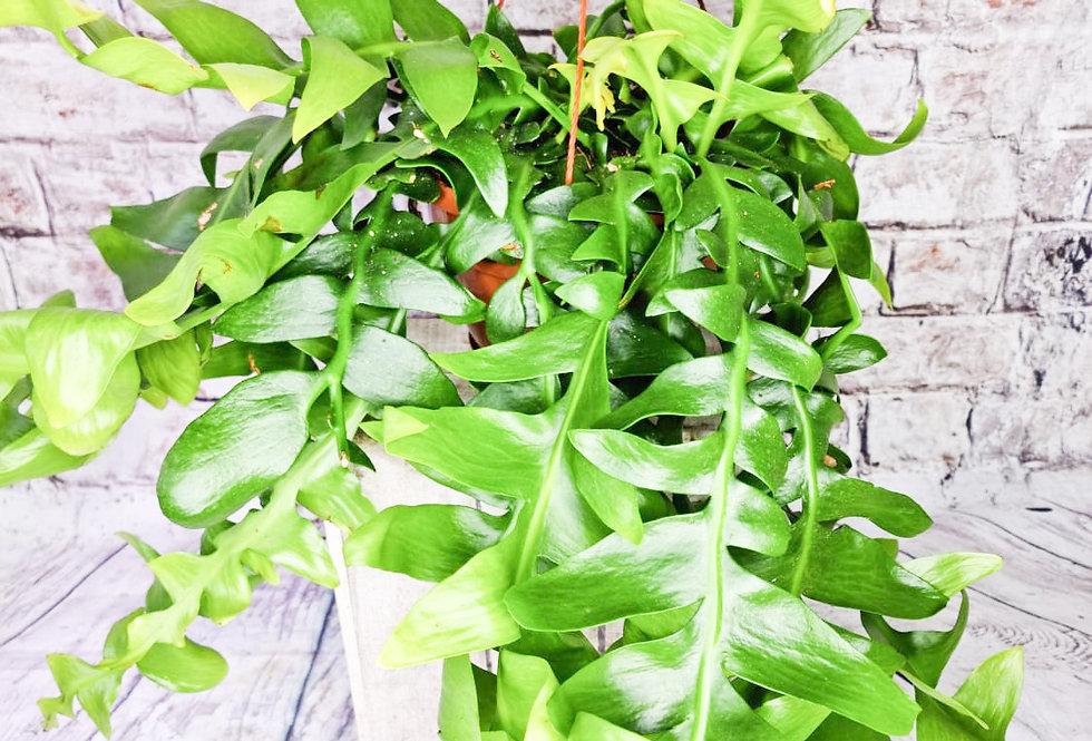 Epiphyllum Chrysocardium 21Ø 60cm