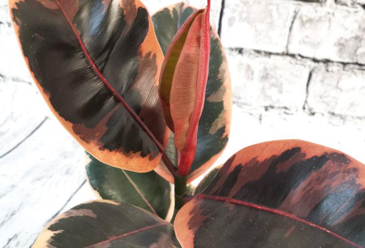 Ficus Elastica Belize Pink