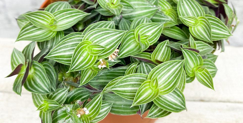Tradescantia Albiflora Green/White 12cm pot size