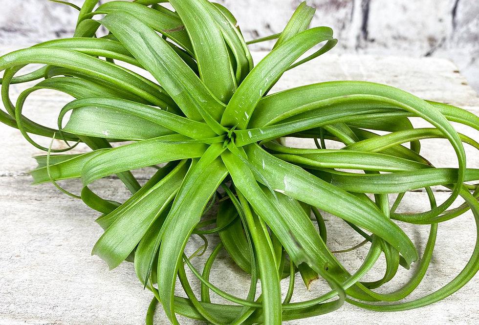 Tillandsia green air plant medium size
