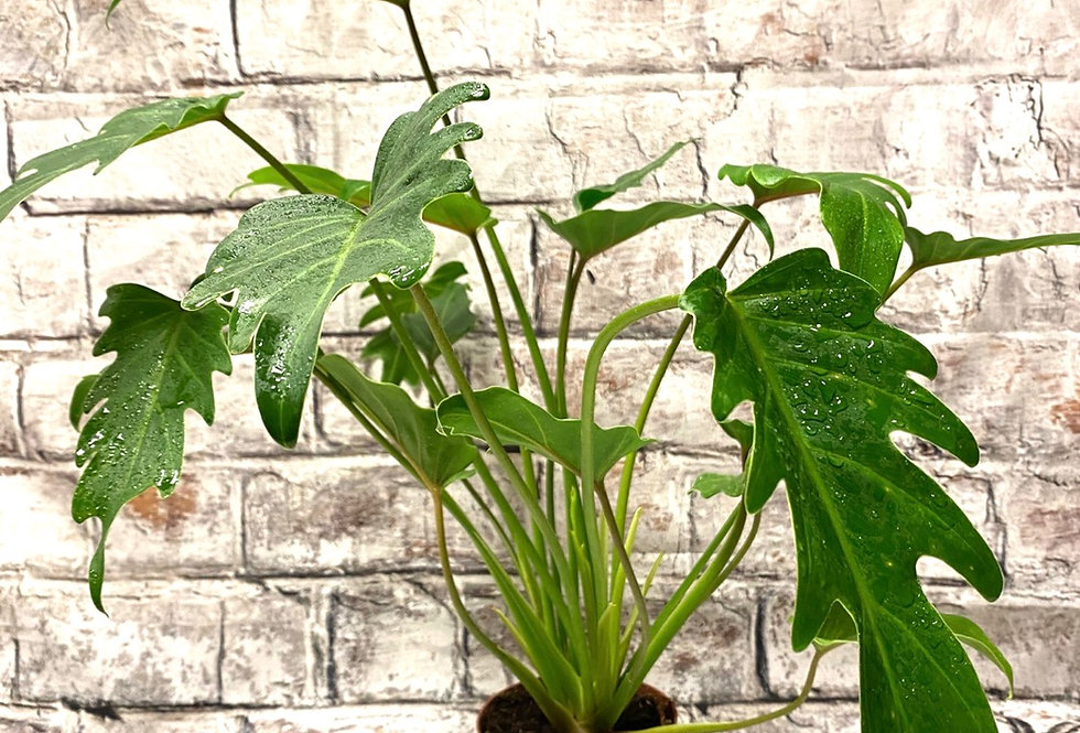 Philodendron Xanadu 12cm pot