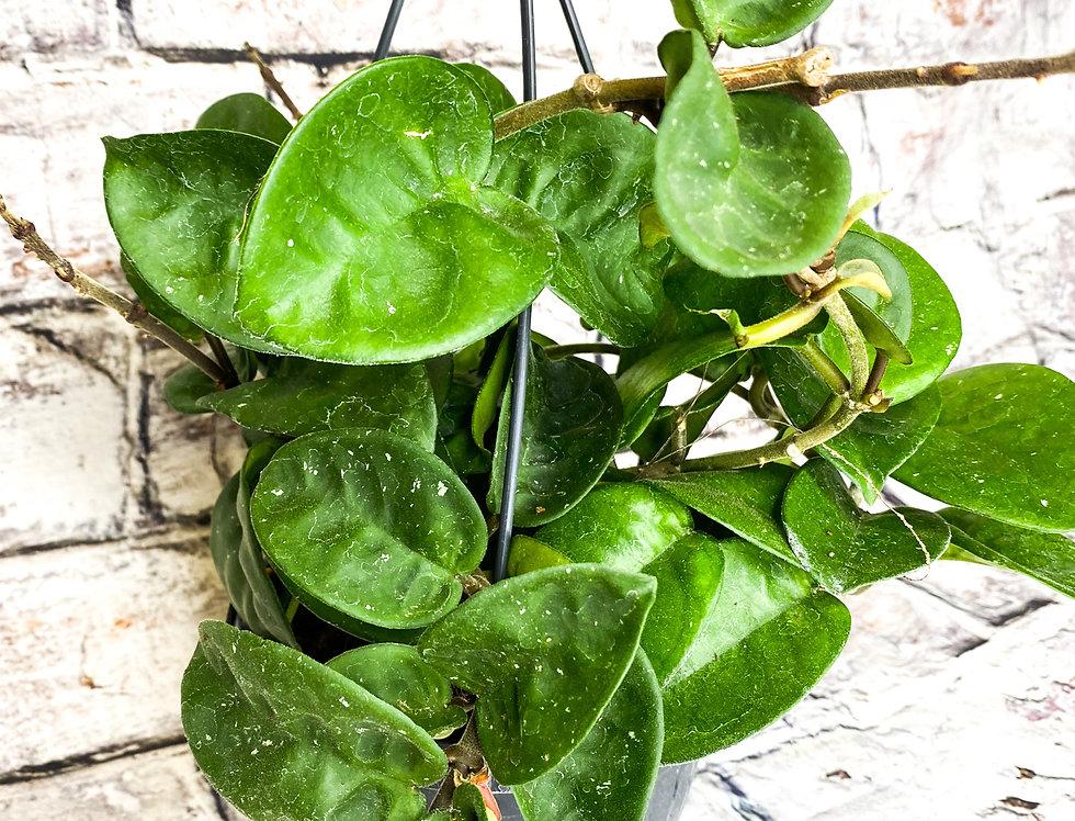 Hoya Carnosa Krinkle