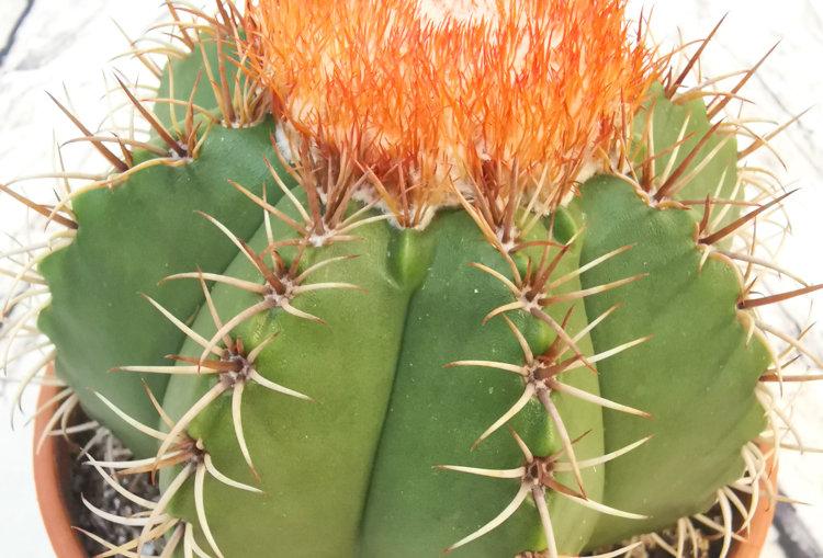 Melocactus Matanzanus 13cm pot size