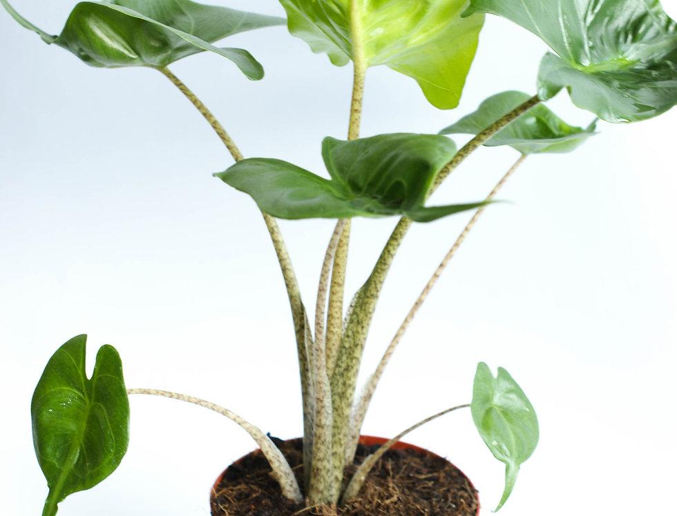 Alocasia macrorrhiza Stingray | Elephant Ear