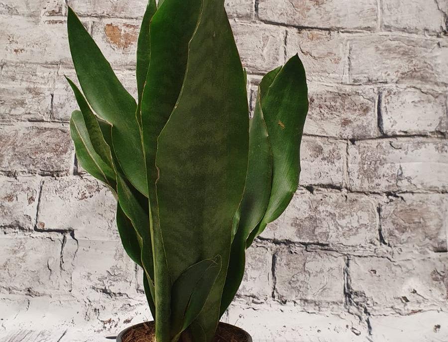 Sansevieria Aubrytniana Jade  50cm