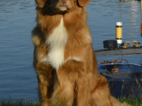 Meet Toller.....a new pet portrait in oil