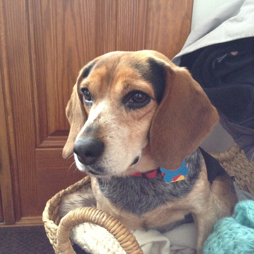 Pet Portrait in oil Beagle