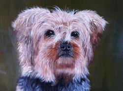 Dog Portrait Yorkshire terrier
