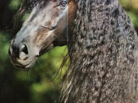A Friesian Horse called Thor....