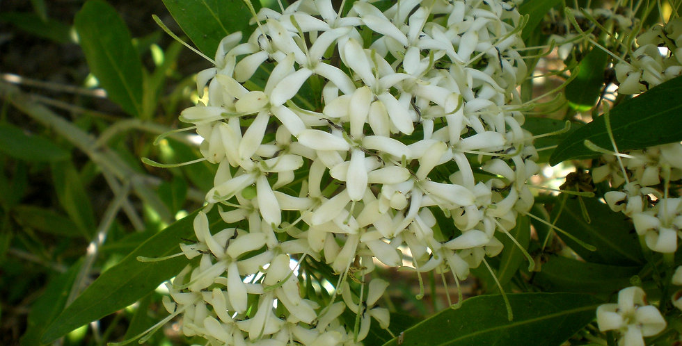 Pavetta gardenifolia