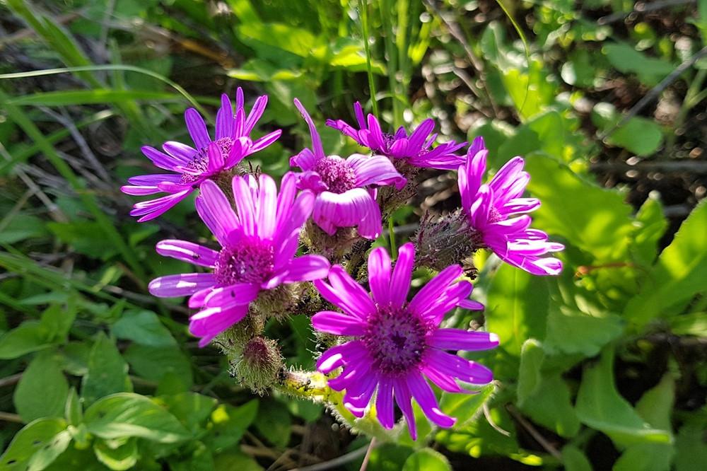 Purple Broom