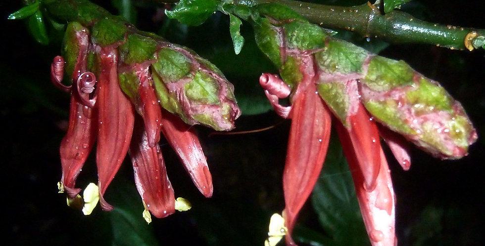 Metarungia pubinervia